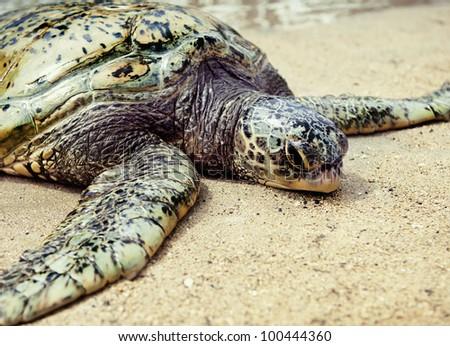 green turtle (Chelonia mydas)