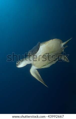 Green turtle (Chelonia mydas), endangered. Below view of an adult female swimming in blue water. Red Sea, Egypt.