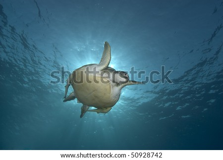 Green turtle (Chelonia mydas), endangered. Low angle front view of an adult female swimming in blue water. Red Sea, Egypt.