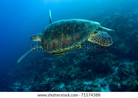 Green turtle (Chelonia mydas) with yellow remora (Echeneidae) swimming over a coral reef. Taken in the Wakatobi, Indonesia.