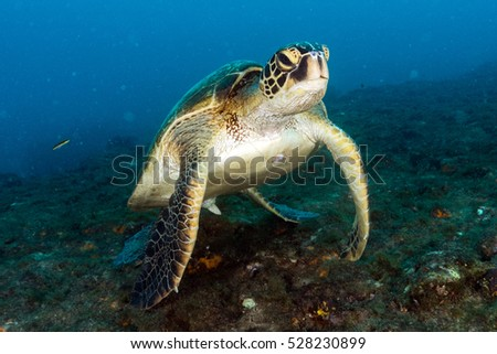 Stock Photo Green turtle coming to you underwater while diving in cabo pulmo baja california national park