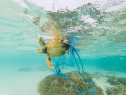 Green Turtle entangled in a discarded fishing net