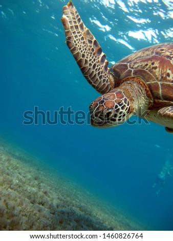 Green turtle, family of sea turtles.
