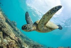 Green turtle floating underwater. Hawaiian sea animals in natural habitat.