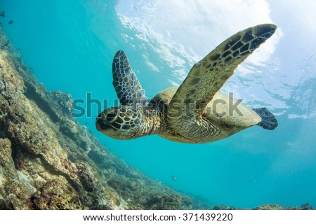 Green turtle floating underwater. Hawaiian sea animals in natural habitat.