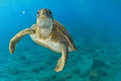 Green turtle in the blue looking at me