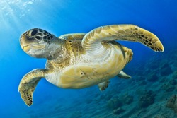 Green turtle in the blue sea