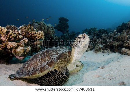 Green turtle on the house reef at Marsa Shagra in the Red Sea, Egypt