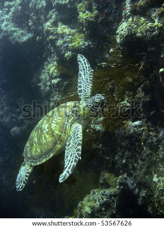 green turtle swimming at sipadan in sabah malaysian borneo