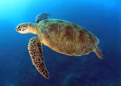 green turtle swimming in blue ocean,great barrier reef, cairns, queensland, coral sea, australia pacific loggerhead