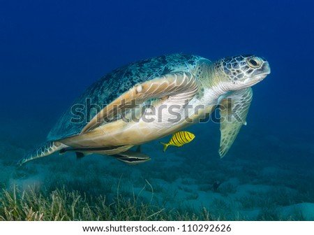 Green Turtle swimming low over sea grass