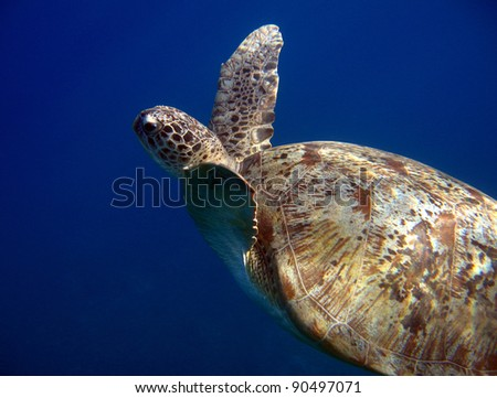 Green Turtle Swimming, Naama Bay, Sharm el Sheikh, Egypt