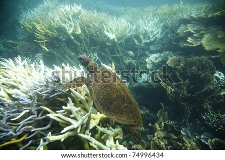 Green turtle swimming through the coral reef, Ningaloo Reef, Western Australia. - stock photo