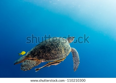 Green Turtle swimming towards the surface to breathe