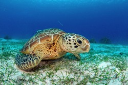 Green turtle under wather in the enviorment