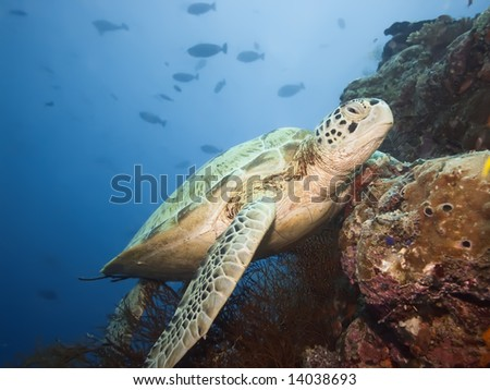 Green turtle underwater on a coral. Borneo