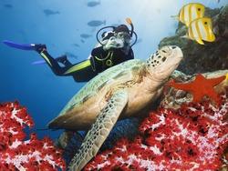Green turtle underwater on a coral. Sipadan. Celebes sea