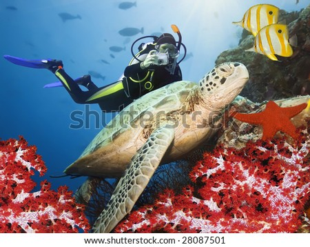 Green turtle underwater on a coral. Sipadan. Celebes sea - stock photo