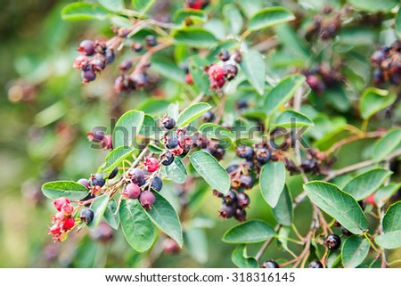 Green twig of irga with ripe berries #318316145
