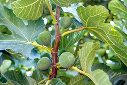 Green unripe figs hang on a branch. Fruits of a fig. Unripe figs between green fig leaves.