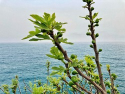 Green unripe figs hang on a branch. Fruits of a fig. Unripe figs between green fig leaves. fig fruits on the seashore and against the background of mountains that are in the fog