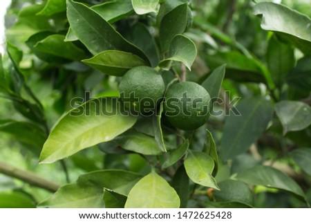 Green unripe tangerines on the tree Astara - Azerbaijan tangerine garden #1472625428