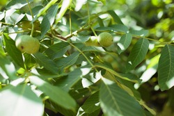Green unripe walnuts hang on a branch. Green leaves and unripe walnut. Fruits of a walnut.