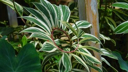 Green variegated leaves of spiral ginger or crepe ginger with red stem (Costus speciosus Variegata) the tropical plant with nature background