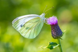 Green-veined white butterfly, Pieris napi, feeding nectar of a purple thistle flower in a beautiful meadow