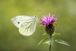 Green-veined white (Pieris napi) hangs on a thistle drinking nectar,