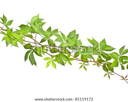 green vine branch