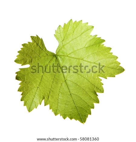 Green vine leaf