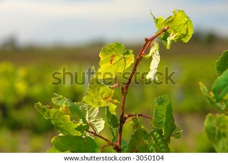 Green Vine Leaf Closeup