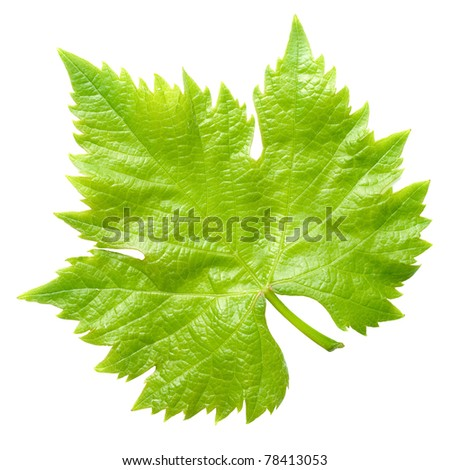 Green vine leaf isolated on white background.