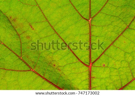 Green vine leaf with red veins, close up  #747173002