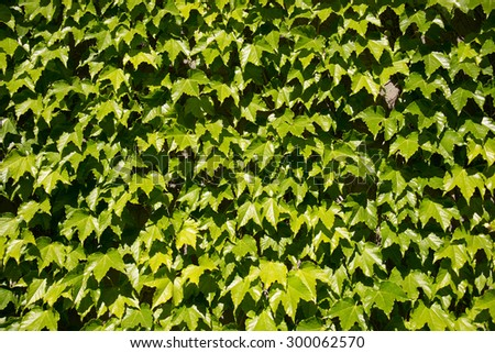 Green vine leaves against blue sky in a city park with overlapping layered leaves. Covering walls with plants for decoration
