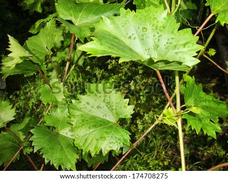 Green Vine leaves with raindrops.