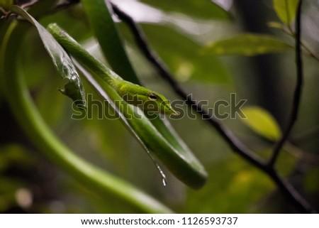 Green vine snake #1126593737