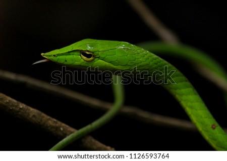 Green vine snake #1126593764