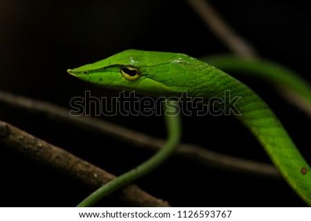 Green vine snake #1126593767