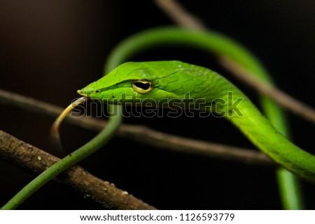 Green vine snake #1126593779