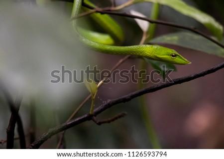 Green vine snake #1126593794