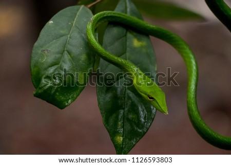 Green vine snake #1126593803