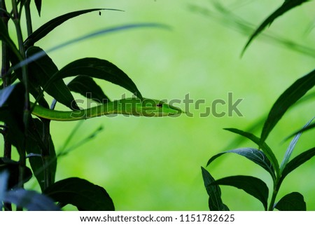 Green vine snake camouflages in a plant leaves in the forest with blurred nature background #1151782625