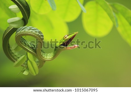Green vine snake in its angry mood with its  attack position on a small tree branch
