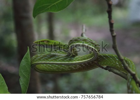 Green Vine Snake in Philippines