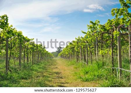 green vineyards in Thailand, Grape farm