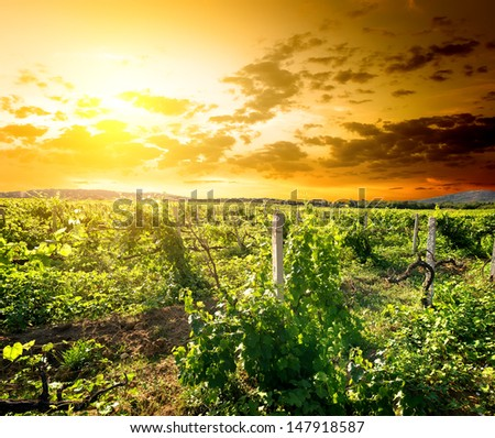 Green vinyard at the sunrise in Crimea