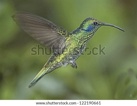 Green violet-ear humming bird in flight