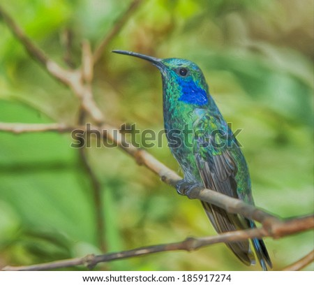 Green Violet-ear hummingbird in Costa Rica #185917274